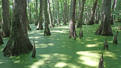 Cypress Swamp, along the Natchez Trace L.M. Browning 2014