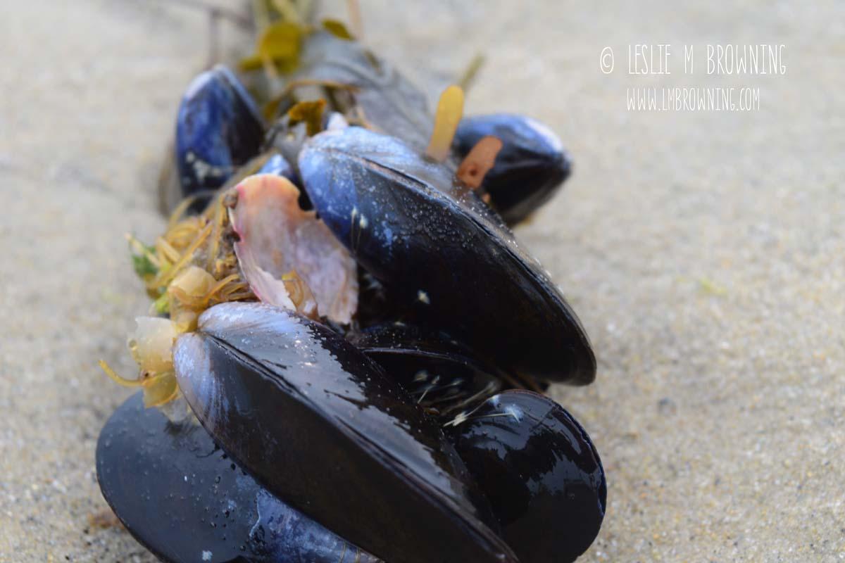 Blue Mussels at Napatree Point, RI | May 4, 2015