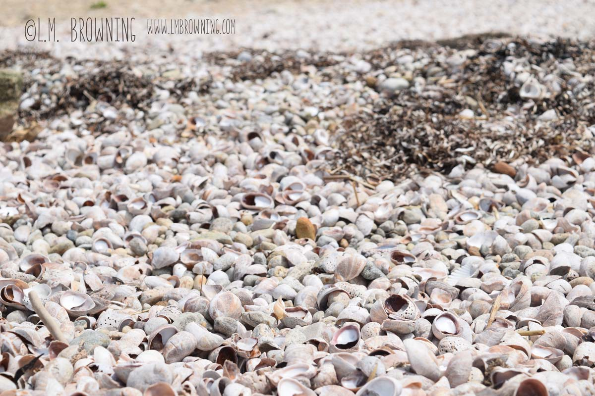Sea Slipper Skeletons, Bluff Point, Groton, CT | May 17, 2015